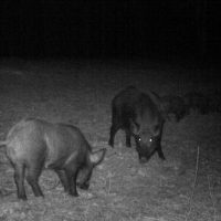 Exciting night time hog hunts!