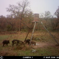 Hill Country Hog Hunts