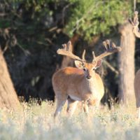 Texas Trophy Whitetail & Exotic Hunting Packages